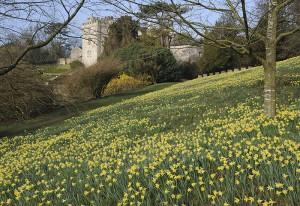 Daffodils at Sizergh Castle, Cumbria